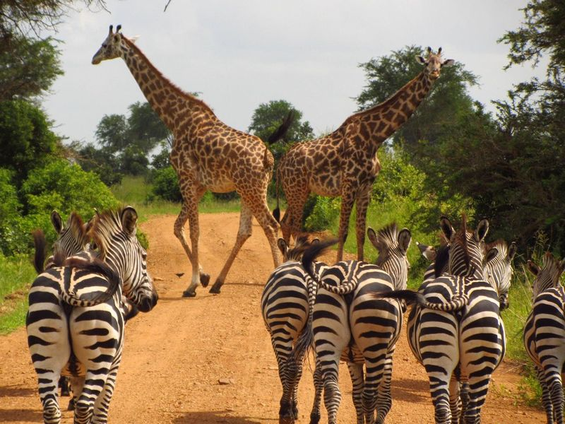 zebras-765885_1920.jpg